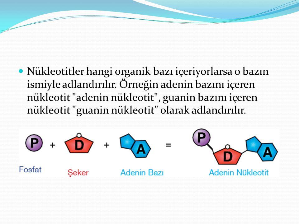 Nükleotitler hangi organik bazı içeriyorlarsa o bazın ismiyle adlandırılır. Örneğin adenin bazını içeren nükleotit