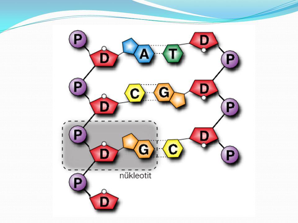 DNA molekülünde bulunan yapılar harflerle gösterilir.