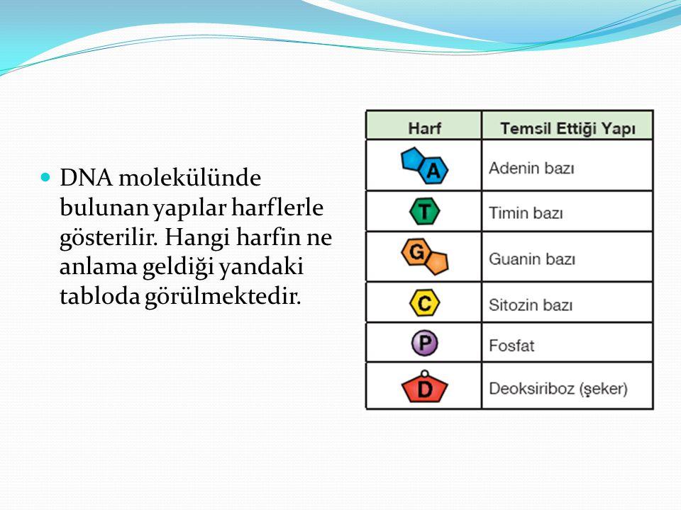 DNA molekülünde bulunan yapılar harflerle gösterilir. Hangi harfin ne anlama geldiği yandaki tabloda görülmektedir.