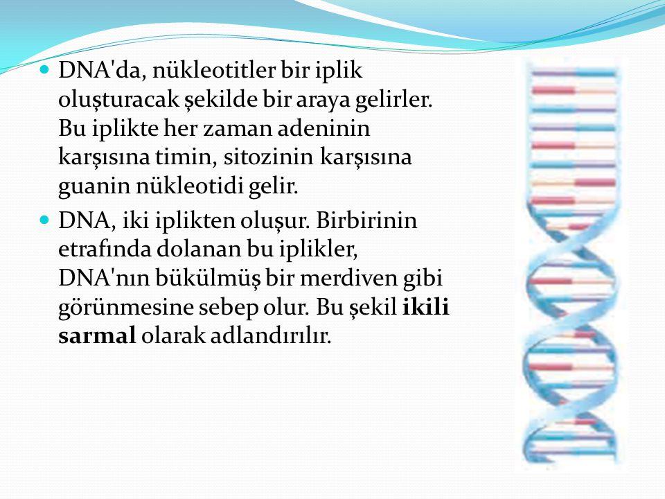 DNA'da, nükleotitler bir iplik oluşturacak şekilde bir araya gelirler. Bu iplikte her zaman adeninin karşısına timin, sitozinin karşısına guanin nükle