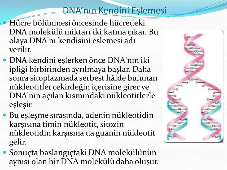 DNA'nın Kendini Eşlemesi Hücre bölünmesi öncesinde hücredeki DNA molekülü miktarı iki katına çıkar. Bu olaya DNA'nı kendisini eşlemesi adı verilir. DN
