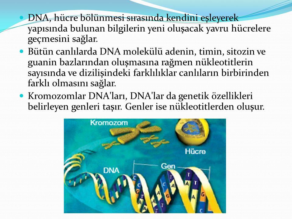 DNA, hücre bölünmesi sırasında kendini eşleyerek yapısında bulunan bilgilerin yeni oluşacak yavru hücrelere geçmesini sağlar. Bütün canlılarda DNA mol