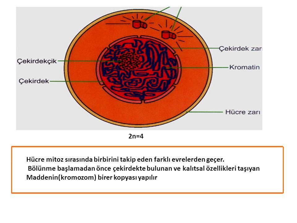 * Mitozun ilk evresinde kromozomlar belirgin şekilde görülmeye başlar.