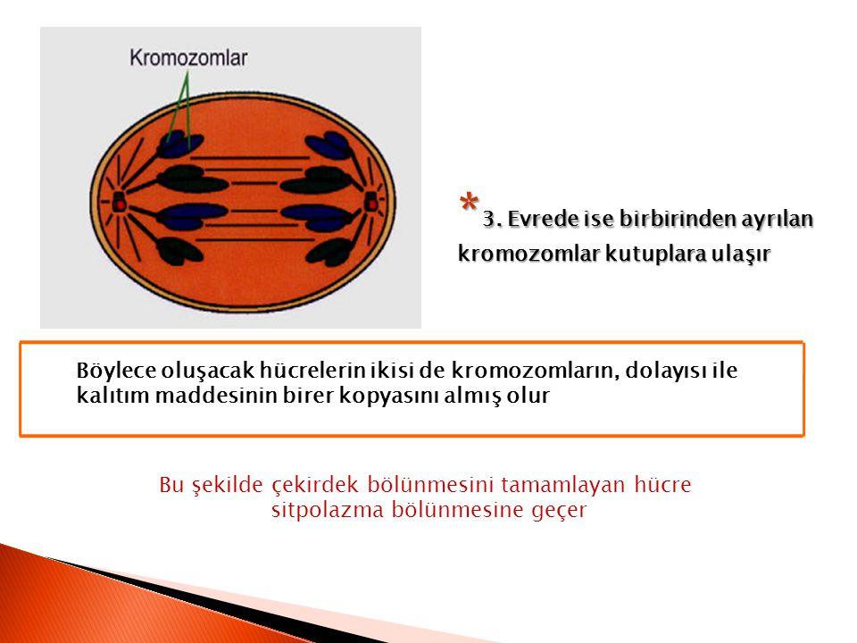 * 3. Evrede ise birbirinden ayrılan kromozomlar kutuplara ulaşır Böylece oluşacak hücrelerin ikisi de kromozomların, dolayısı ile kalıtım maddesinin b