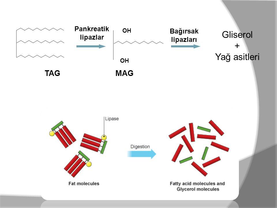 Pankreatik lipazlar OH TAG MAG Bağırsak lipazları Gliserol + Yağ asitleri