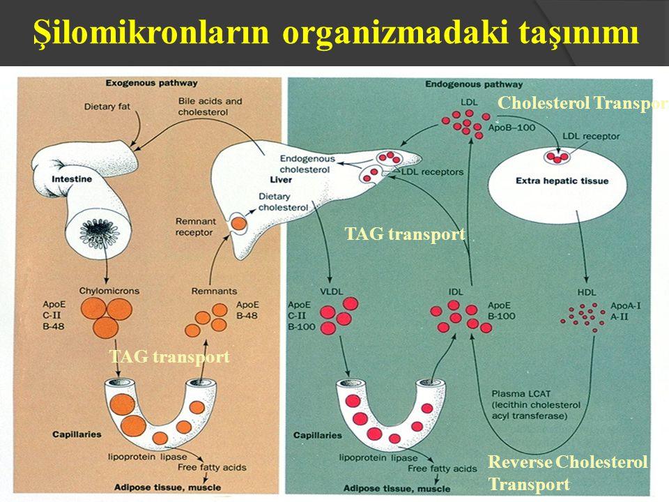 Şilomikronların organizmadaki taşınımı Cholesterol Transport Reverse Cholesterol Transport TAG transport