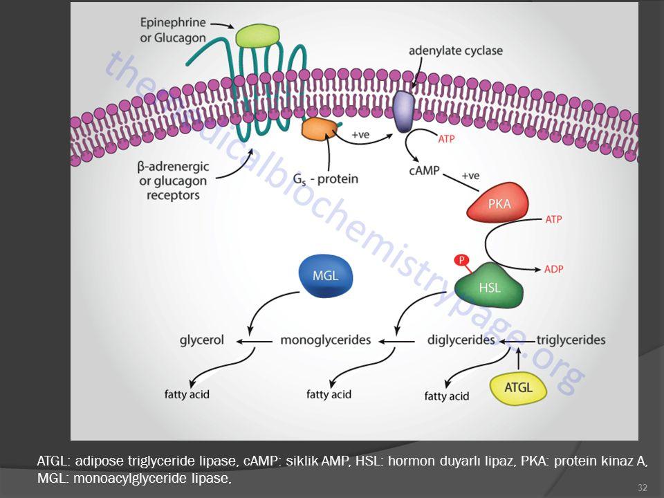 32 ATGL: adipose triglyceride lipase, cAMP: siklik AMP, HSL: hormon duyarlı lipaz, PKA: protein kinaz A, MGL: monoacylglyceride lipase,