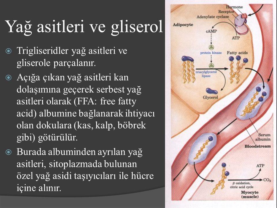 Yağ asitleri ve gliserol  Trigliseridler yağ asitleri ve gliserole parçalanır.  Açığa çıkan yağ asitleri kan dolaşımına geçerek serbest yağ asitleri