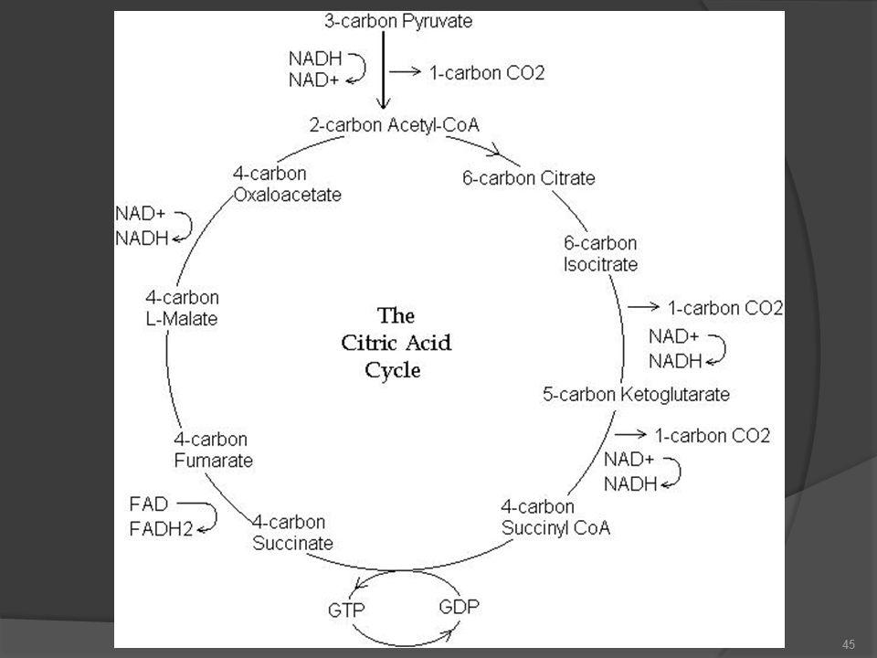 16 C'lu bir doymuş yağ asidinin enerji bilançosu  7 X 1.5 ATP= 10.5  7 X 2.5 ATP= 17.5  8 X 10 ATP= 80  Toplam = 108-2 ATP = NET: 106 ATP