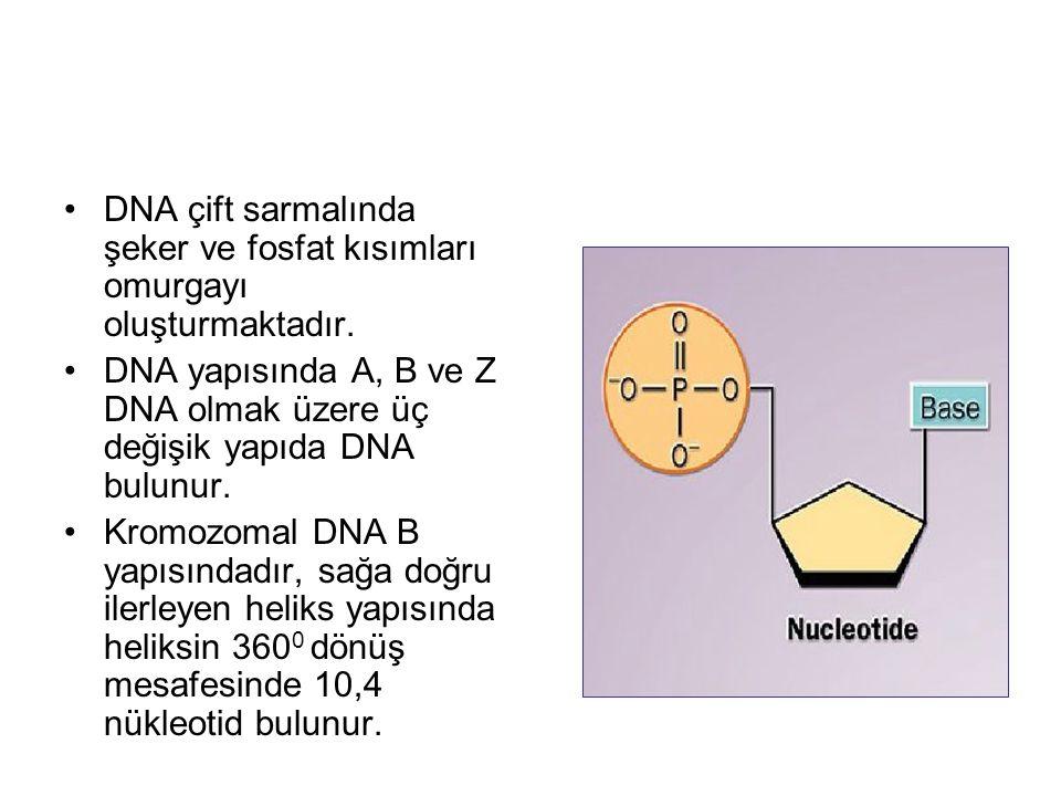 DNA çift sarmalında şeker ve fosfat kısımları omurgayı oluşturmaktadır.