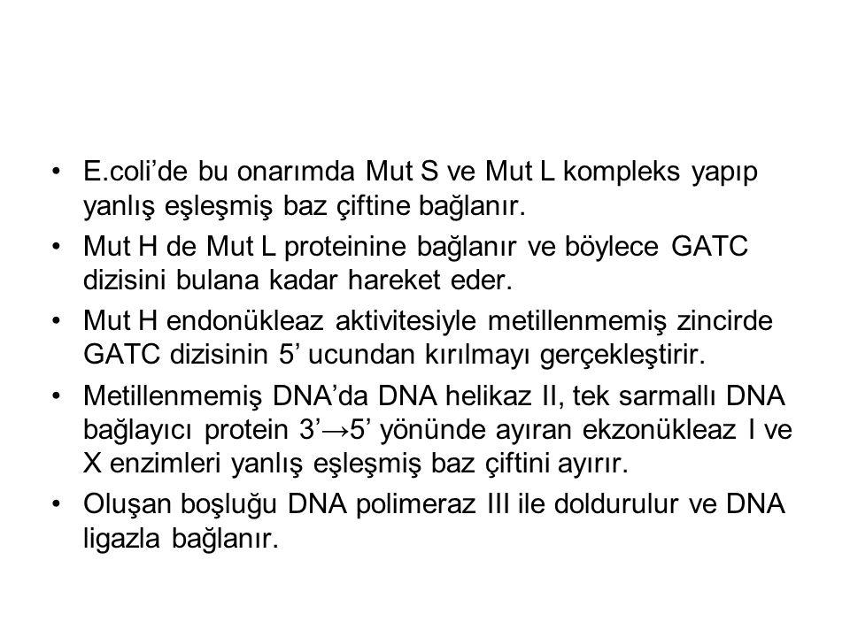 E.coli'de bu onarımda Mut S ve Mut L kompleks yapıp yanlış eşleşmiş baz çiftine bağlanır.
