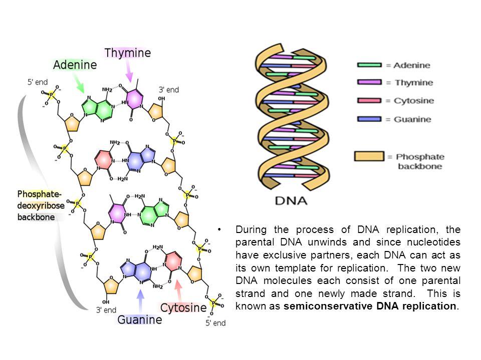 Replikasyonda görevli enzimler kalıba bağımlı polimerazlardır.