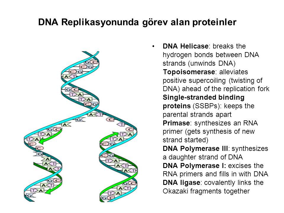 DNA çift sarmal heliks yapısının açılmasında DNA helikaz enzimi görev yapar.
