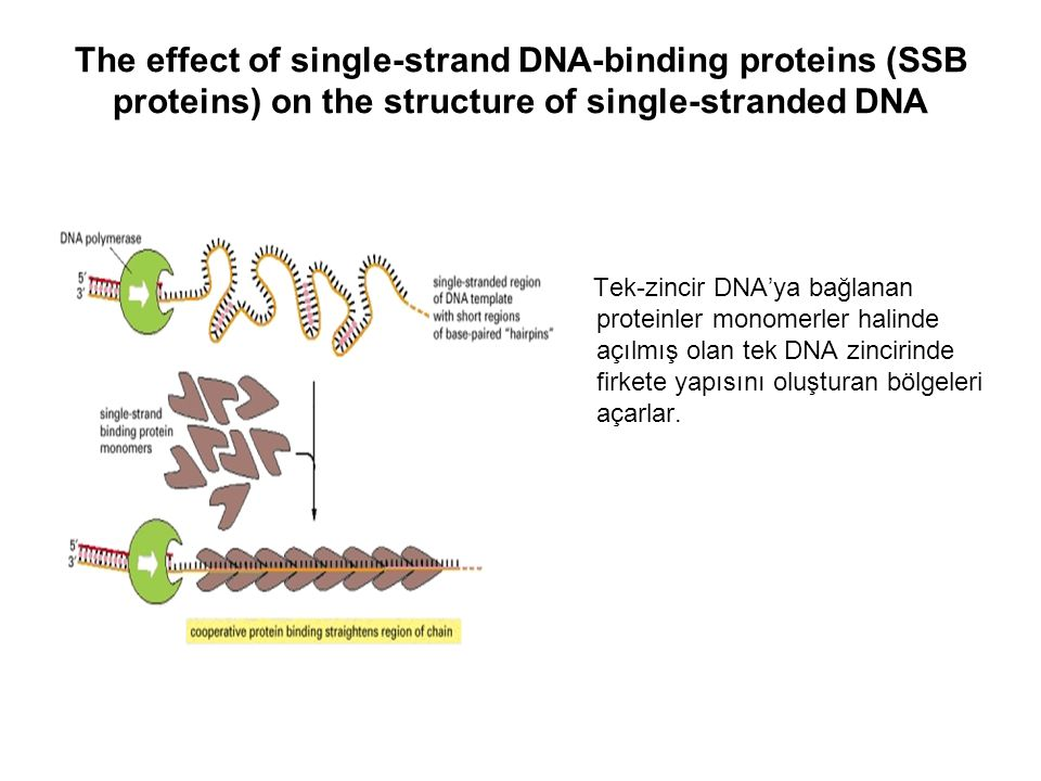The effect of single-strand DNA-binding proteins (SSB proteins) on the structure of single-stranded DNA Tek-zincir DNA'ya bağlanan proteinler monomerl