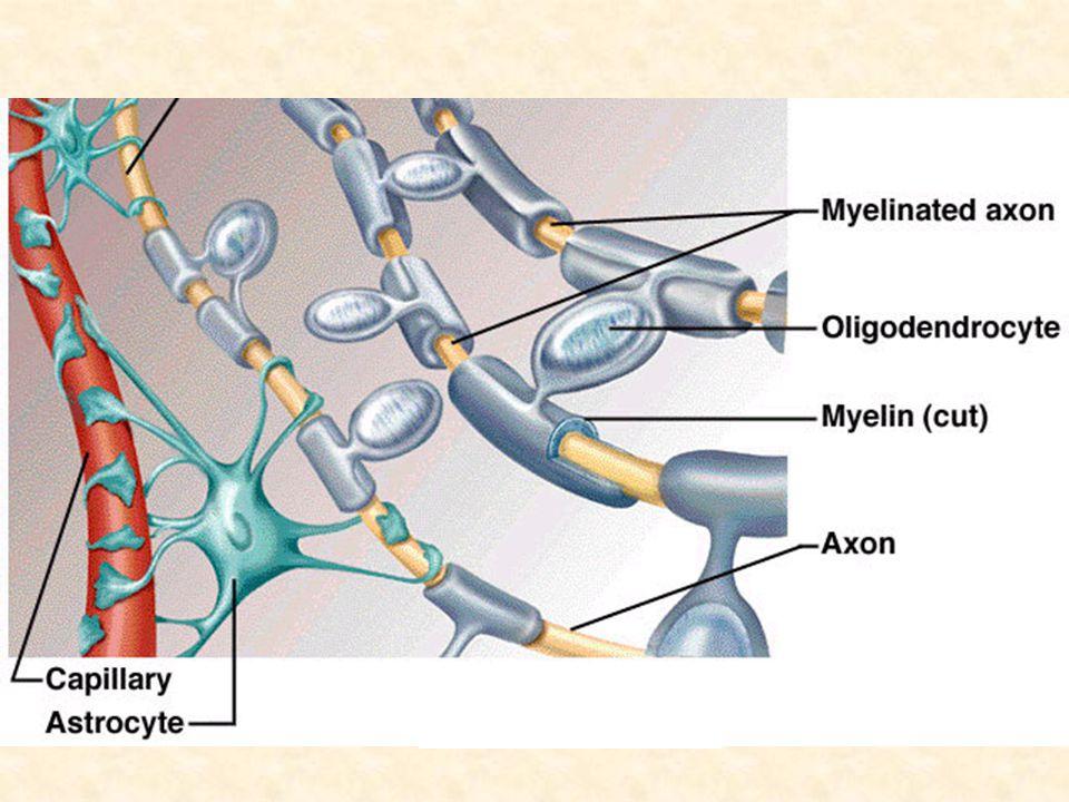 BEYİN VENTRİKÜLLERİ: 2 adet lateral ventrikül, 3.ventrikül 4.