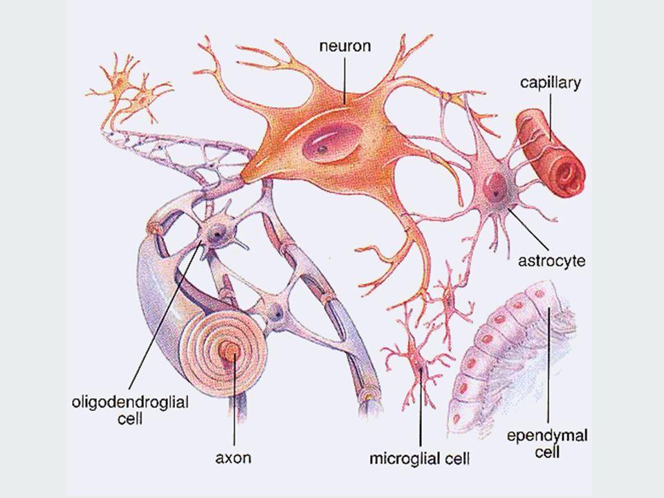 NÖROGLİYA 3) Satelit hücreler: 4) Schwann hücreleri 4) Schwann hücreleri: Periferik sinir sisteminin destek hücreleridir Axon Schwann Hücresi Satelit hücreler