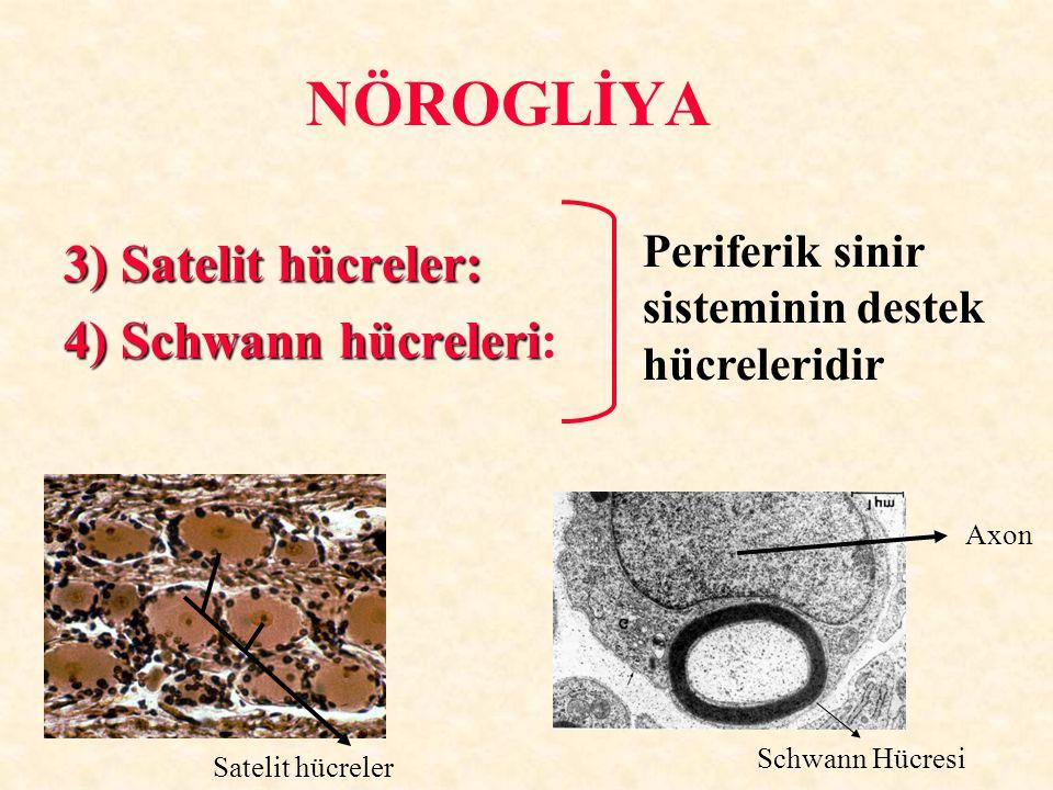 NÖROGLİYA 3) Satelit hücreler: 4) Schwann hücreleri 4) Schwann hücreleri: Periferik sinir sisteminin destek hücreleridir Axon Schwann Hücresi Satelit
