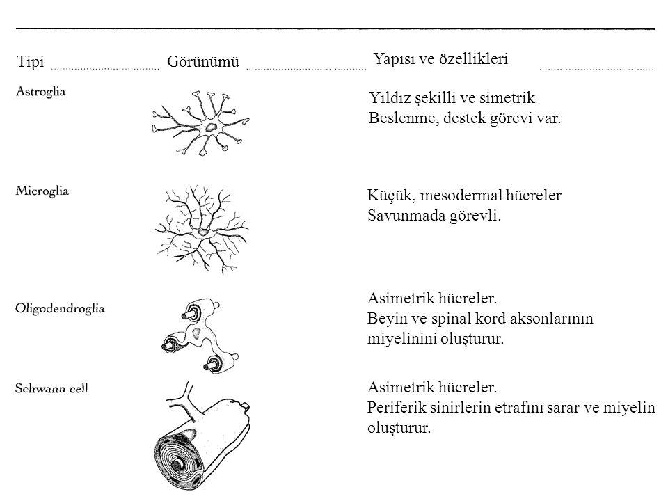 TipiGörünümü Yapısı ve özellikleri Yıldız şekilli ve simetrik Beslenme, destek görevi var. Küçük, mesodermal hücreler Savunmada görevli. Asimetrik hüc
