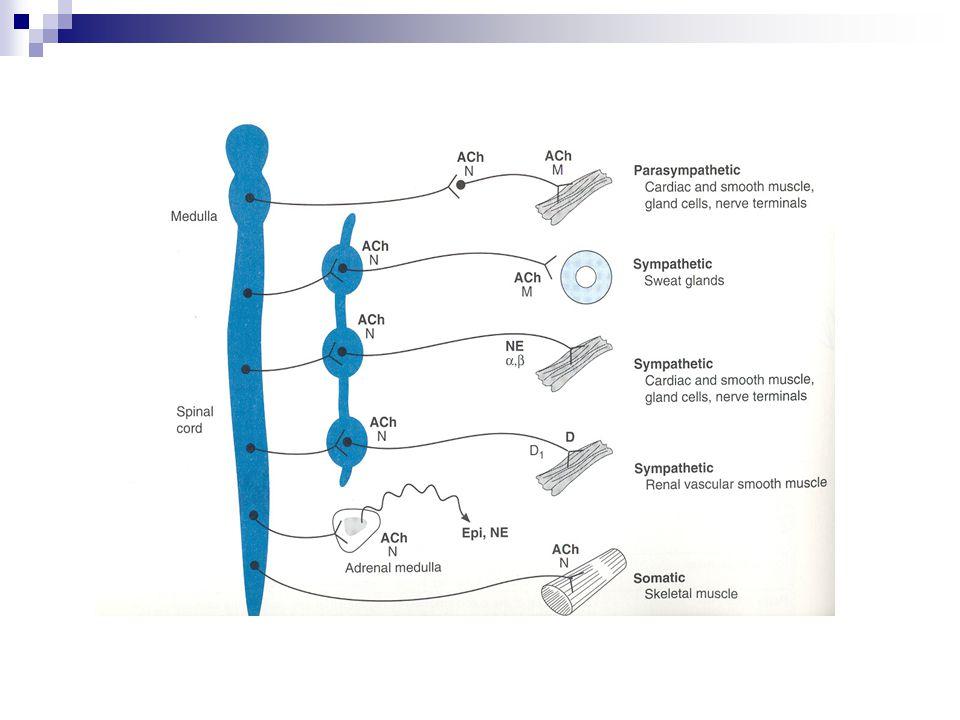 Parasempatomimetik ilaçlar ( M agonistler) KOLİN ESTERLERİ  Asetil kolin (Ach) SSS ve periferde nöromediyatör, Plazmadaki psödokolinesterazlarla; kolinerjik kavşak ve eritrositlerdeki asetilkolinesterazlarla inaktive edilir.