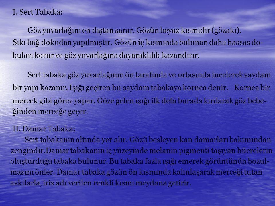 I.Sert Tabaka: Göz yuvarlağını en dıştan sarar. Gözün beyaz kısmıdır (gözakı).