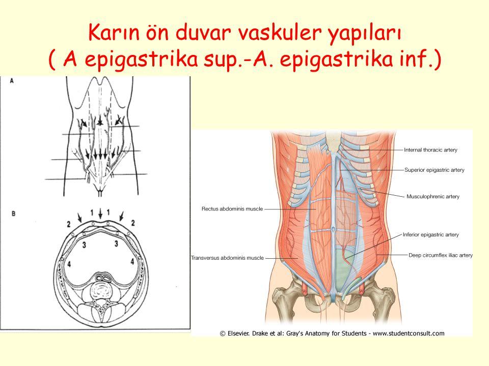 Karın ön duvar vaskuler yapıları ( A epigastrika sup.-A. epigastrika inf.)