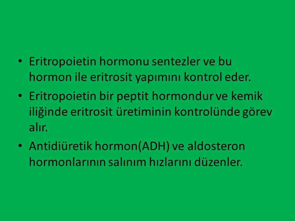 Eritropoietin hormonu sentezler ve bu hormon ile eritrosit yapımını kontrol eder. Eritropoietin bir peptit hormondur ve kemik iliğinde eritrosit üreti
