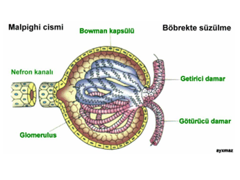 Glomerular hastalık genellikle glomerular filtrasyon bariyerinin parçalanmasıyla ortaya çıkan proteinüri(idrarda protein bulunması) ile birlikte görülür.