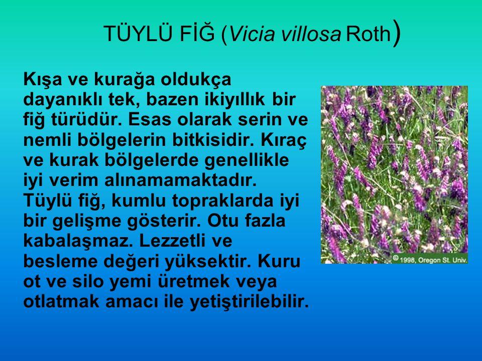 TÜYLÜ FİĞ (Vicia villosa Roth ) Kışa ve kurağa oldukça dayanıklı tek, bazen ikiyıllık bir fiğ türüdür. Esas olarak serin ve nemli bölgelerin bitkisidi