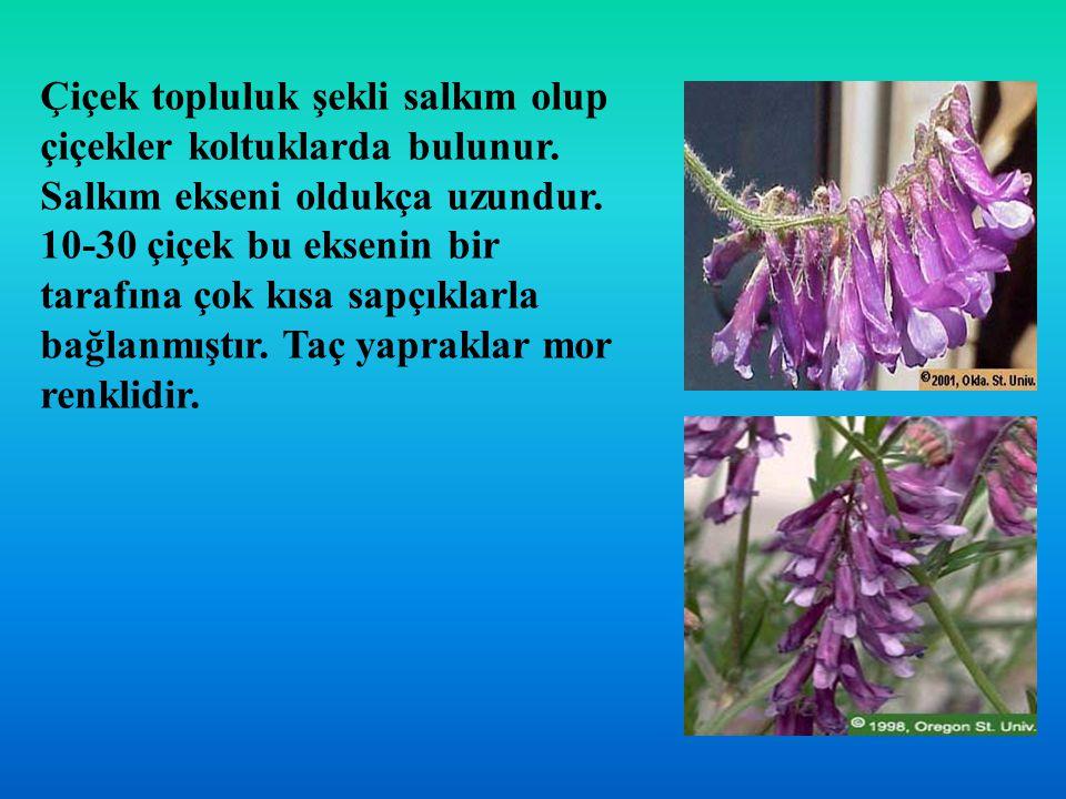 Çiçek topluluk şekli salkım olup çiçekler koltuklarda bulunur. Salkım ekseni oldukça uzundur. 10-30 çiçek bu eksenin bir tarafına çok kısa sapçıklarla