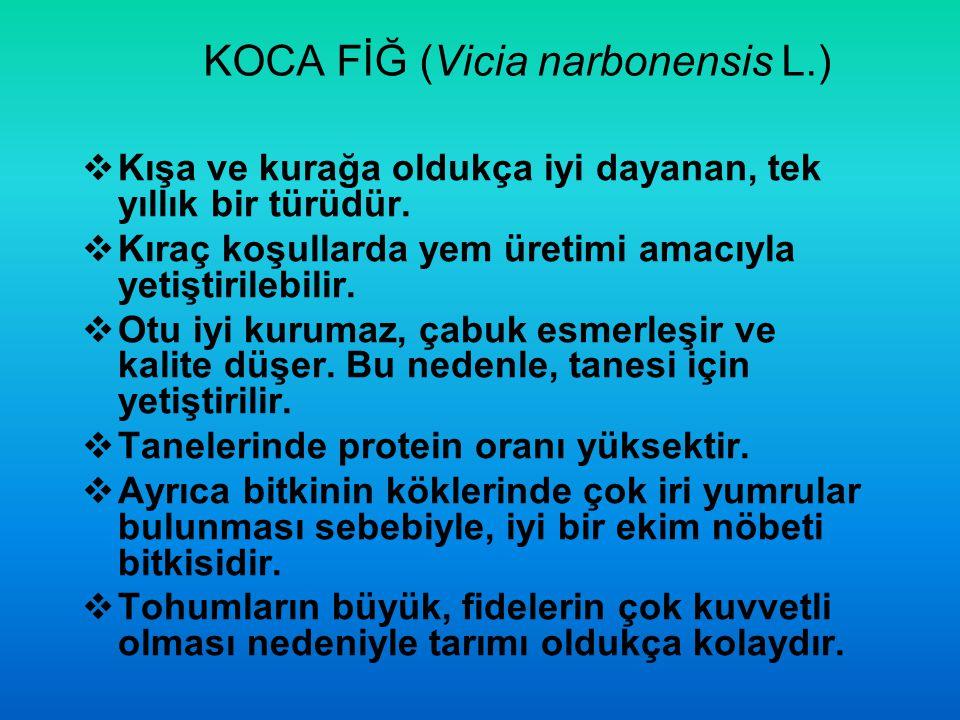 KOCA FİĞ (Vicia narbonensis L.)  Kışa ve kurağa oldukça iyi dayanan, tek yıllık bir türüdür.  Kıraç koşullarda yem üretimi amacıyla yetiştirilebilir
