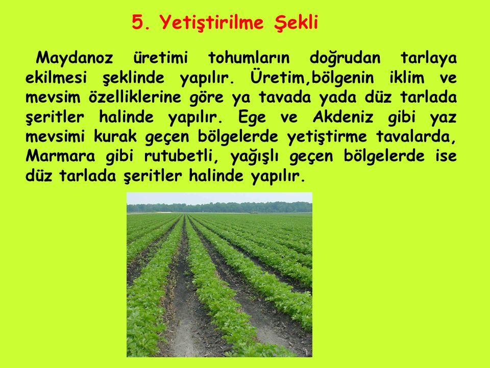 5.Yetiştirilme Şekli Maydanoz üretimi tohumların doğrudan tarlaya ekilmesi şeklinde yapılır.
