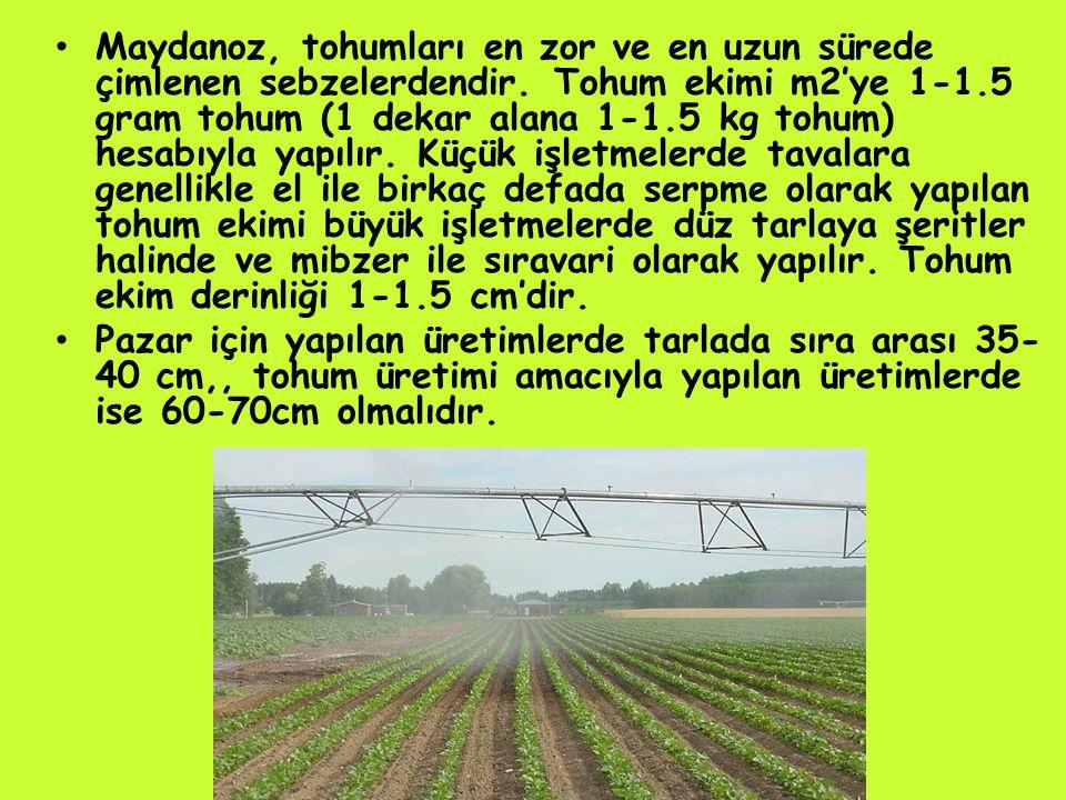 Maydanoz, tohumları en zor ve en uzun sürede çimlenen sebzelerdendir.