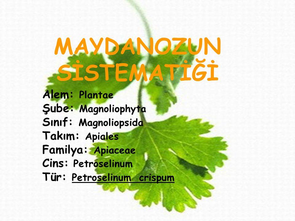 maydanozUN SİSTEMATİĞİ MAYDANOZUN SİSTEMATİĞİ Alem: Plantae Şube: Magnoliophyta Sınıf: Magnoliopsida Takım: Apiales Familya: Apiaceae Cins: Petroselinum Tür: Petroselinum crispum