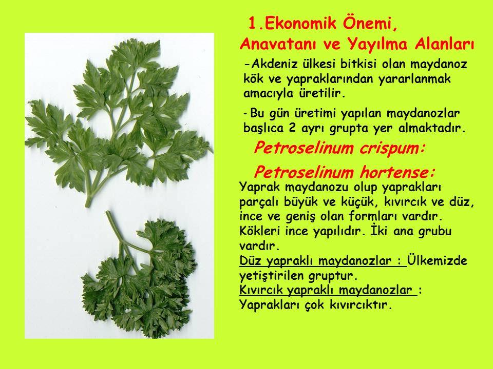1.Ekonomik Önemi, Anavatanı ve Yayılma Alanları -Akdeniz ülkesi bitkisi olan maydanoz kök ve yapraklarından yararlanmak amacıyla üretilir.