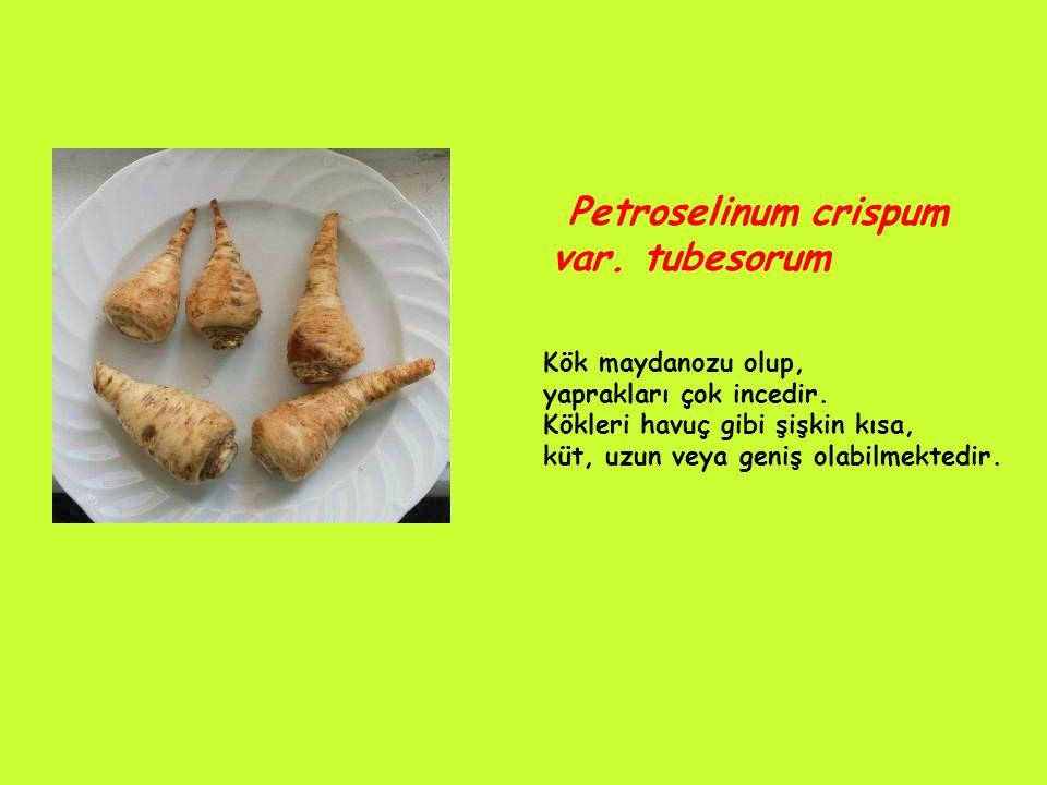 Petroselinum crispum var.tubesorum Kök maydanozu olup, yaprakları çok incedir.