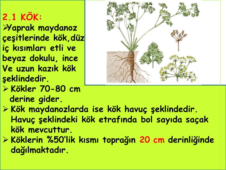2.1 KÖK:  Yaprak maydanoz çeşitlerinde kök,düz iç kısımları etli ve beyaz dokulu, ince Ve uzun kazık kök şeklindedir.