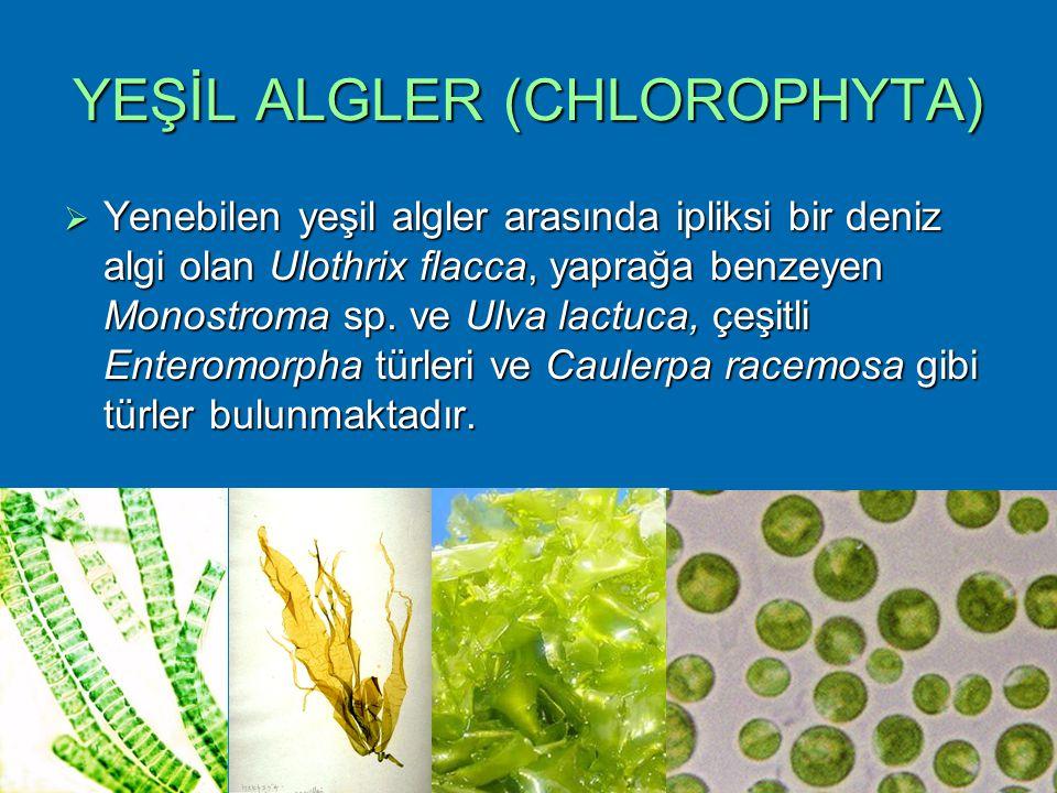 YEŞİL ALGLER (CHLOROPHYTA)  Yenebilen yeşil algler arasında ipliksi bir deniz algi olan Ulothrix flacca, yaprağa benzeyen Monostroma sp. ve Ulva lact