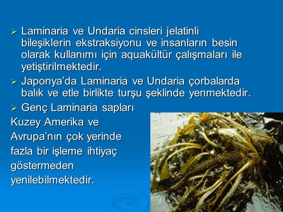  Laminaria ve Undaria cinsleri jelatinli bileşiklerin ekstraksiyonu ve insanların besin olarak kullanımı için aquakültür çalışmaları ile yetiştirilme