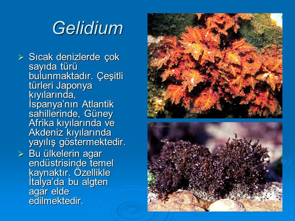 Gelidium  Sıcak denizlerde çok sayıda türü bulunmaktadır. Çeşitli türleri Japonya kıyılarında, İspanya'nın Atlantik sahillerinde, Güney Afrika kıyıla