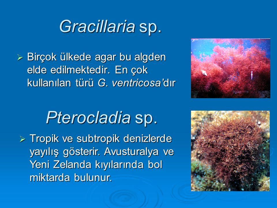Gracillaria sp.  Birçok ülkede agar bu algden elde edilmektedir. En çok kullanılan türü G. ventricosa'dır Pterocladia sp.  Tropik ve subtropik deniz