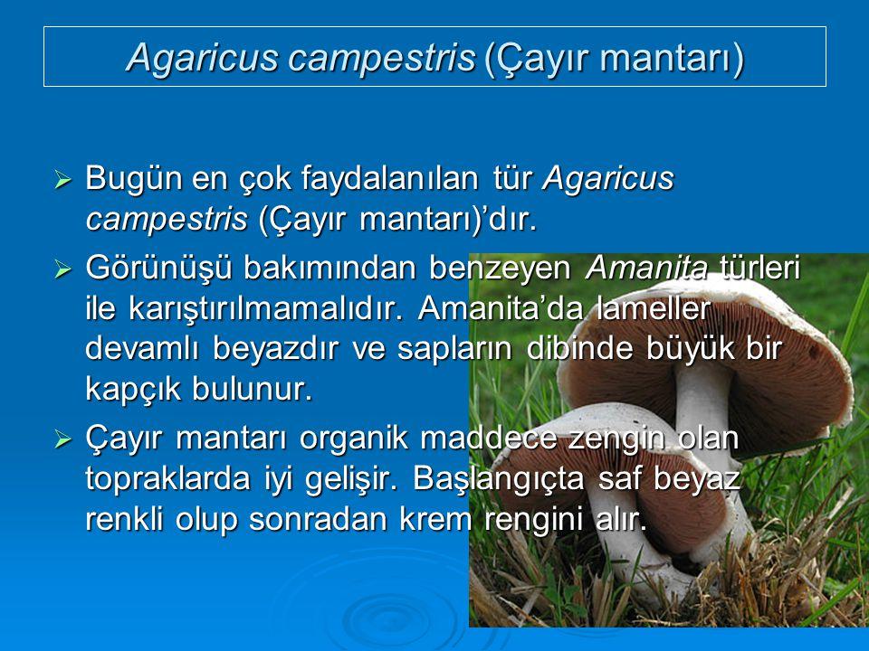 Agaricus campestris (Çayır mantarı)  Bugün en çok faydalanılan tür Agaricus campestris (Çayır mantarı)'dır.  Görünüşü bakımından benzeyen Amanita tü