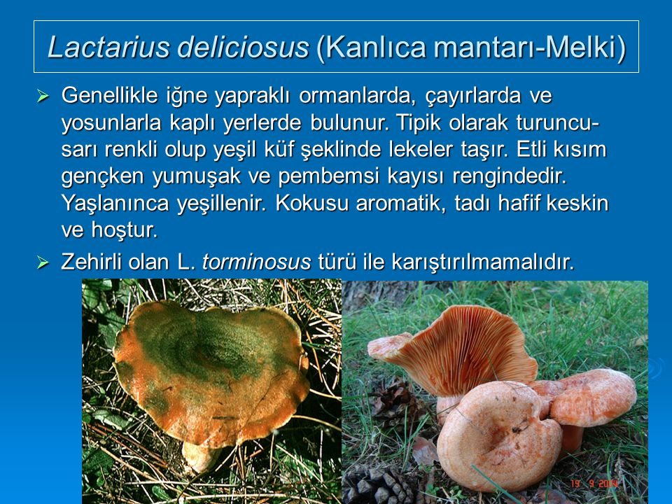 Lactarius deliciosus (Kanlıca mantarı-Melki)  Genellikle iğne yapraklı ormanlarda, çayırlarda ve yosunlarla kaplı yerlerde bulunur. Tipik olarak turu