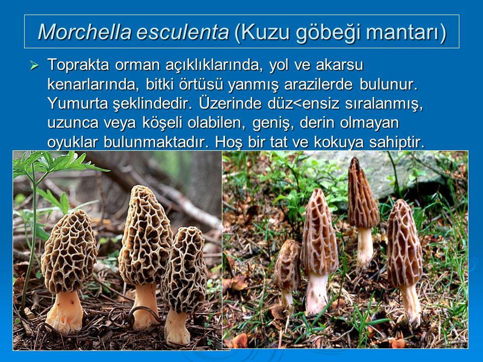 Morchella esculenta (Kuzu göbeği mantarı)  Toprakta orman açıklıklarında, yol ve akarsu kenarlarında, bitki örtüsü yanmış arazilerde bulunur. Yumurta