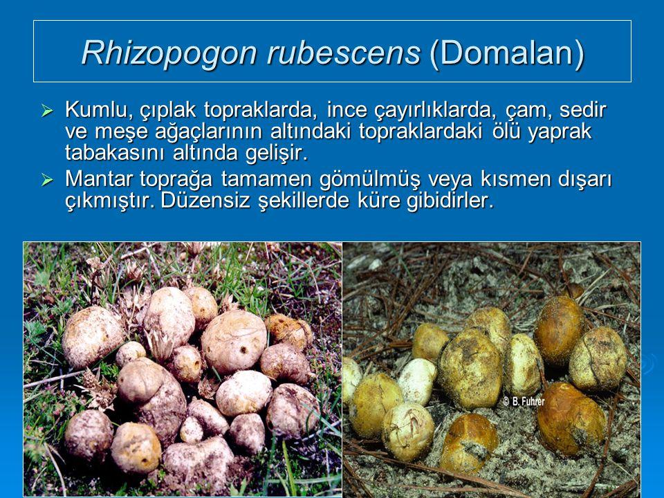 Rhizopogon rubescens (Domalan)  Kumlu, çıplak topraklarda, ince çayırlıklarda, çam, sedir ve meşe ağaçlarının altındaki topraklardaki ölü yaprak taba
