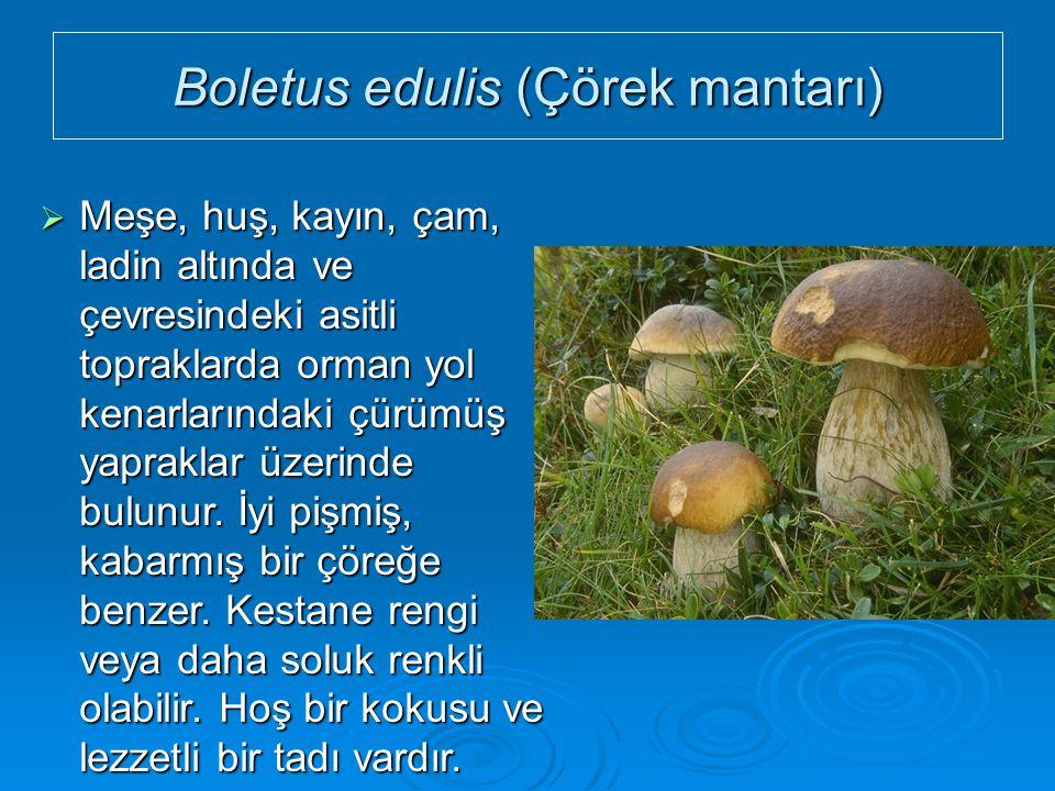 Boletus edulis (Çörek mantarı)  Meşe, huş, kayın, çam, ladin altında ve çevresindeki asitli topraklarda orman yol kenarlarındaki çürümüş yapraklar üz