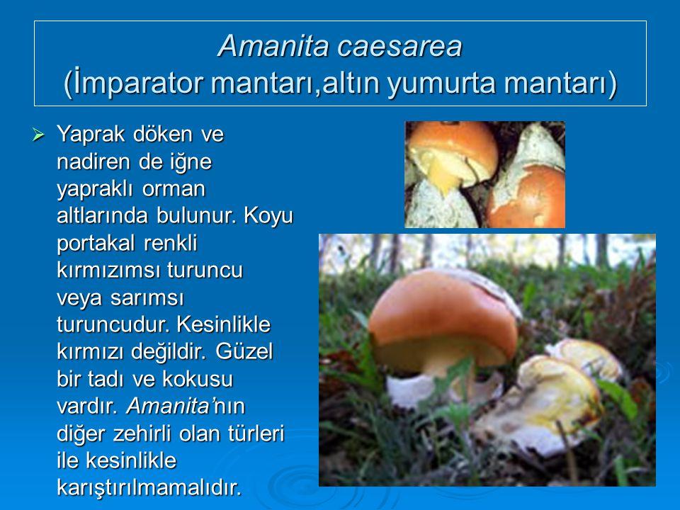 Amanita caesarea (İmparator mantarı,altın yumurta mantarı)  Yaprak döken ve nadiren de iğne yapraklı orman altlarında bulunur. Koyu portakal renkli k