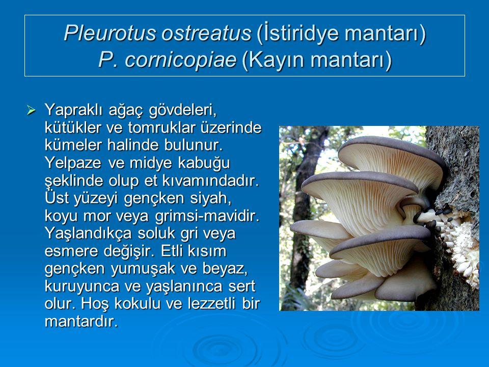 Pleurotus ostreatus (İstiridye mantarı) P. cornicopiae (Kayın mantarı)  Yapraklı ağaç gövdeleri, kütükler ve tomruklar üzerinde kümeler halinde bulun