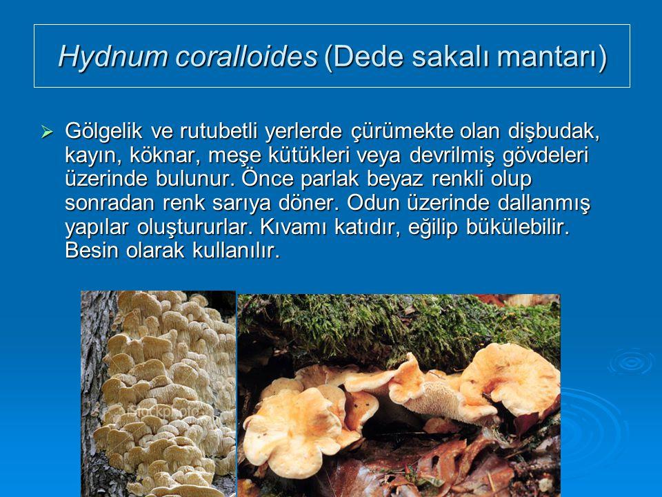 Hydnum coralloides (Dede sakalı mantarı)  Gölgelik ve rutubetli yerlerde çürümekte olan dişbudak, kayın, köknar, meşe kütükleri veya devrilmiş gövdel