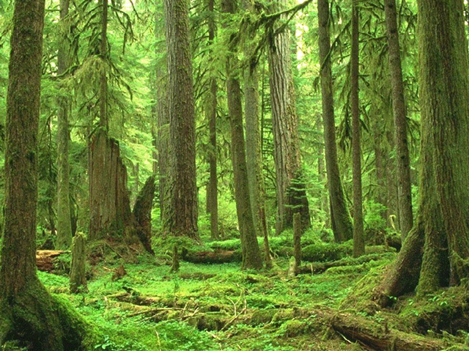 ORTA KUŞAĞIN KARIŞIK ORMANLARI Okyanusal iklim bölgelerinde görülen bu ormanlar geniş ve iğne yapraklı ağaçlardan oluşur.