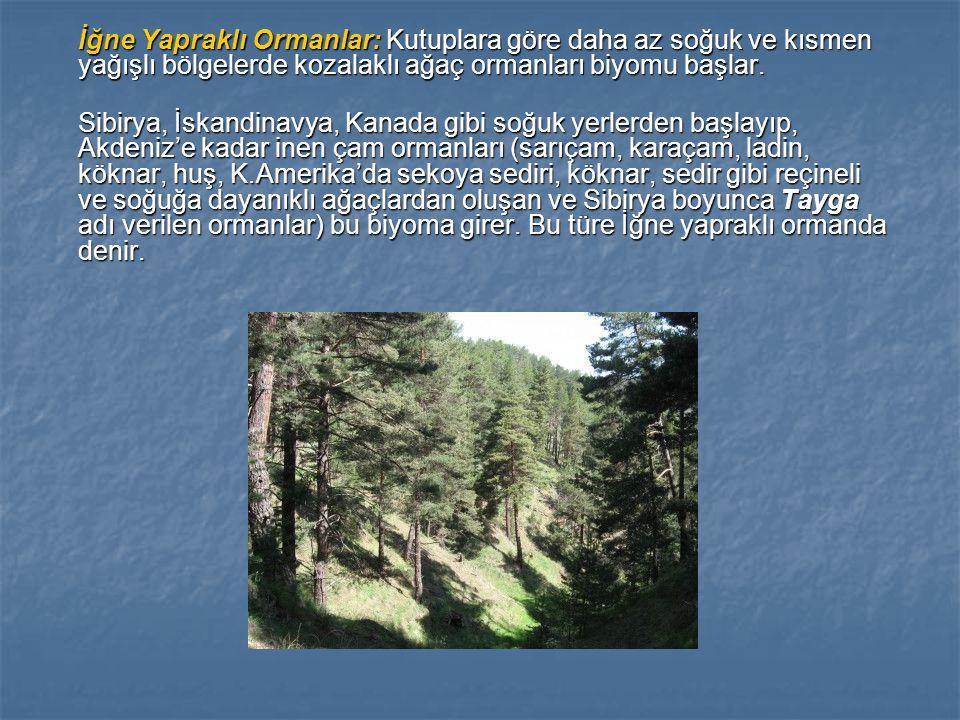 İğne Yapraklı Ormanlar: Kutuplara göre daha az soğuk ve kısmen yağışlı bölgelerde kozalaklı ağaç ormanları biyomu başlar. Sibirya, İskandinavya, Kanad